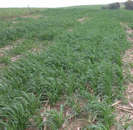 Stand of spring oats