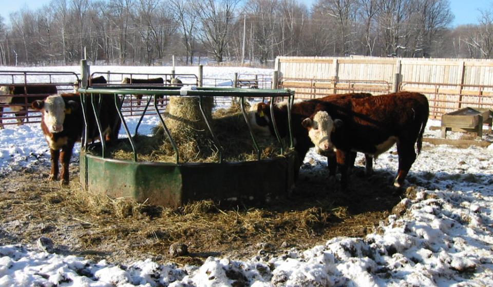 Cattle hay feeding