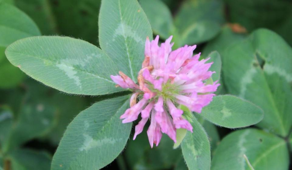 seed with clover