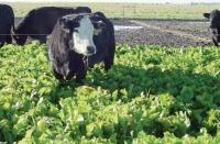 winter 2013 Forage of the Month:  Brassicas