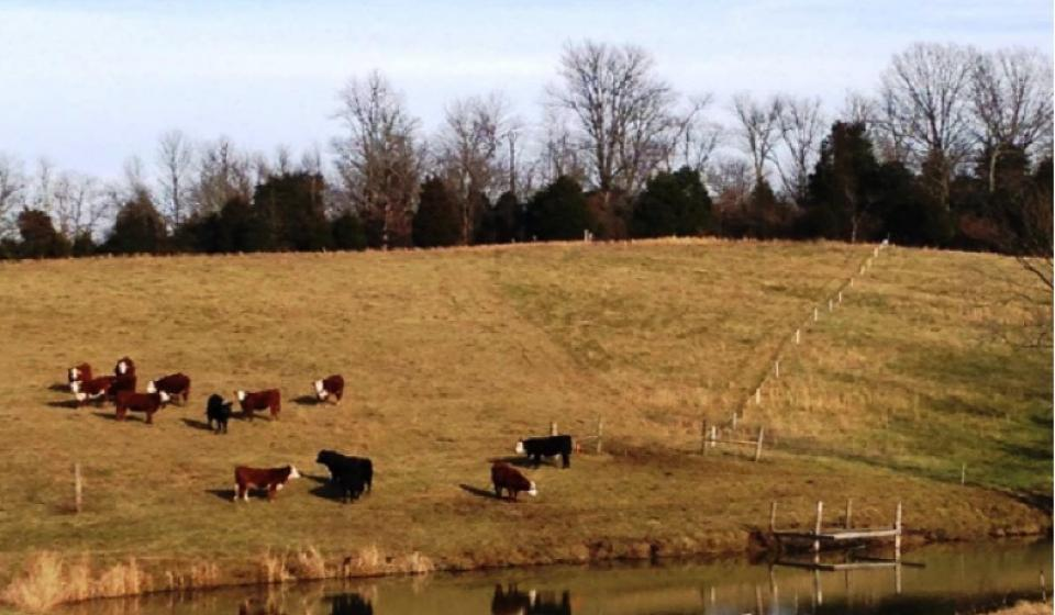 Cattle picture