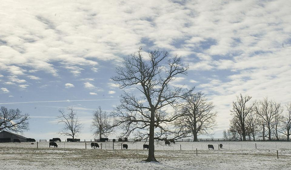 Winter picture of cattle grazing on a cloudy day.